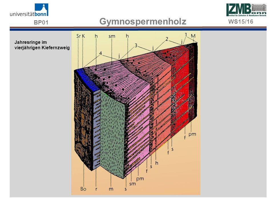 BP01 Gymnospermenholz Jahresringe im vierjährigen Kiefernzweig WS15/16