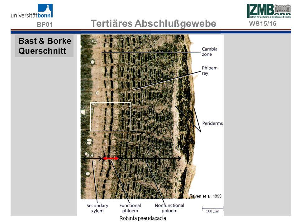 BP01 Tertiäres Abschlußgewebe Bast & Borke Querschnitt Raven et al. 1999 Robinia pseudacacia WS15/16
