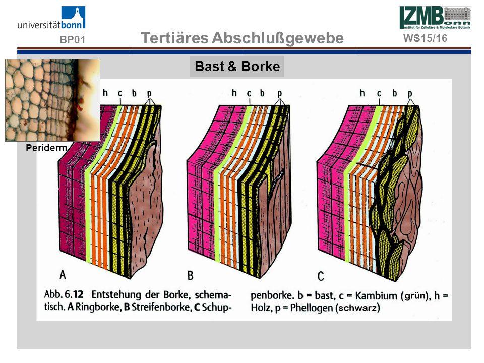 BP01 Tertiäres Abschlußgewebe Bast & Borke Periderm WS15/16