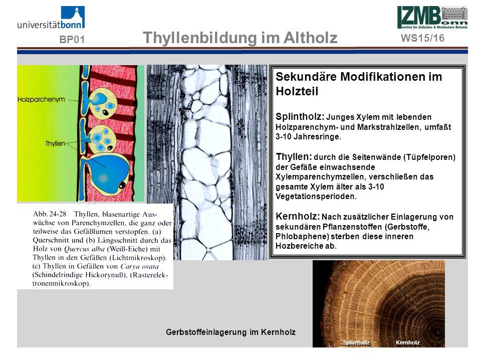 BP01 Thyllenbildung im Altholz Gerbstoffeinlagerung im Kernholz Splintholz Kernholz WS15/16 Sekundäre Modifikationen im Holzteil Splintholz: Junges Xy