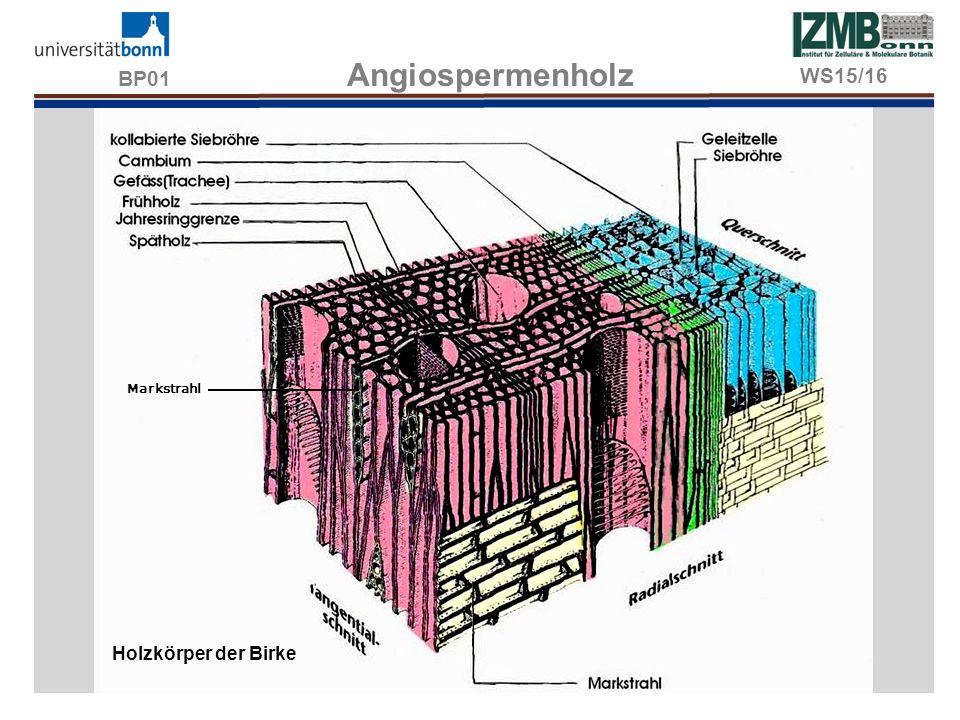BP01 Wassertransport im Xylem Stärke führende Holzparenchym- und Markstrahlzellen, JKJ-Anfärbung.