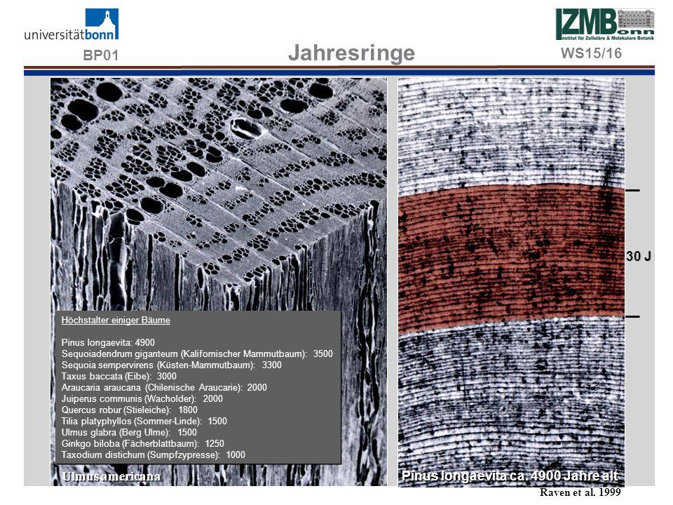 BP01 Thyllenbildung im Altholz Gerbstoffeinlagerung im Kernholz Splintholz Kernholz WS15/16 Sekundäre Modifikationen im Holzteil Splintholz: Junges Xylem mit lebenden Holzparenchym- und Markstrahlzellen, umfaßt 3-10 Jahresringe.