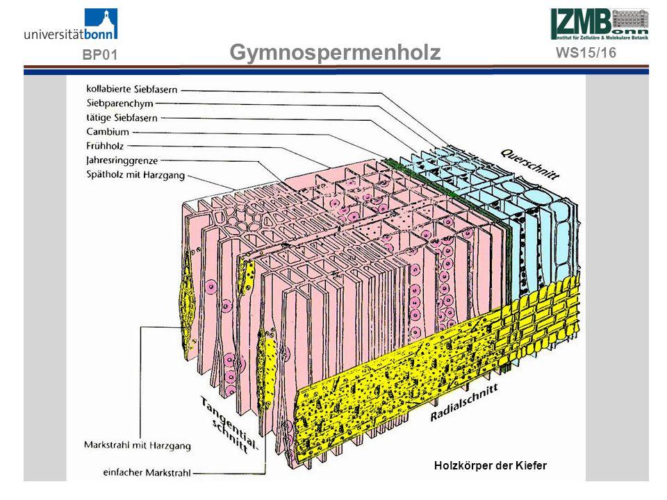 BP01 Gymnospermenholz Holzkörper der Kiefer WS15/16