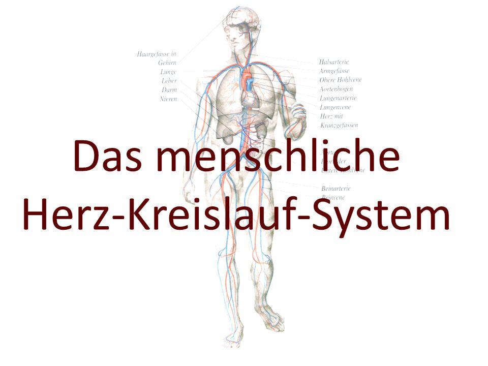 Das menschliche Herz-Kreislauf-System