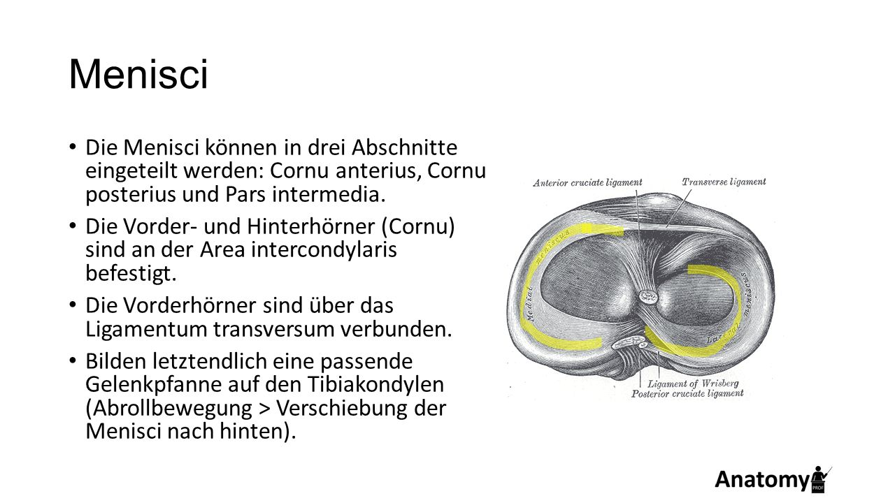 Menisci Die Menisci können in drei Abschnitte eingeteilt werden: Cornu anterius, Cornu posterius und Pars intermedia. Die Vorder- und Hinterhörner (Co