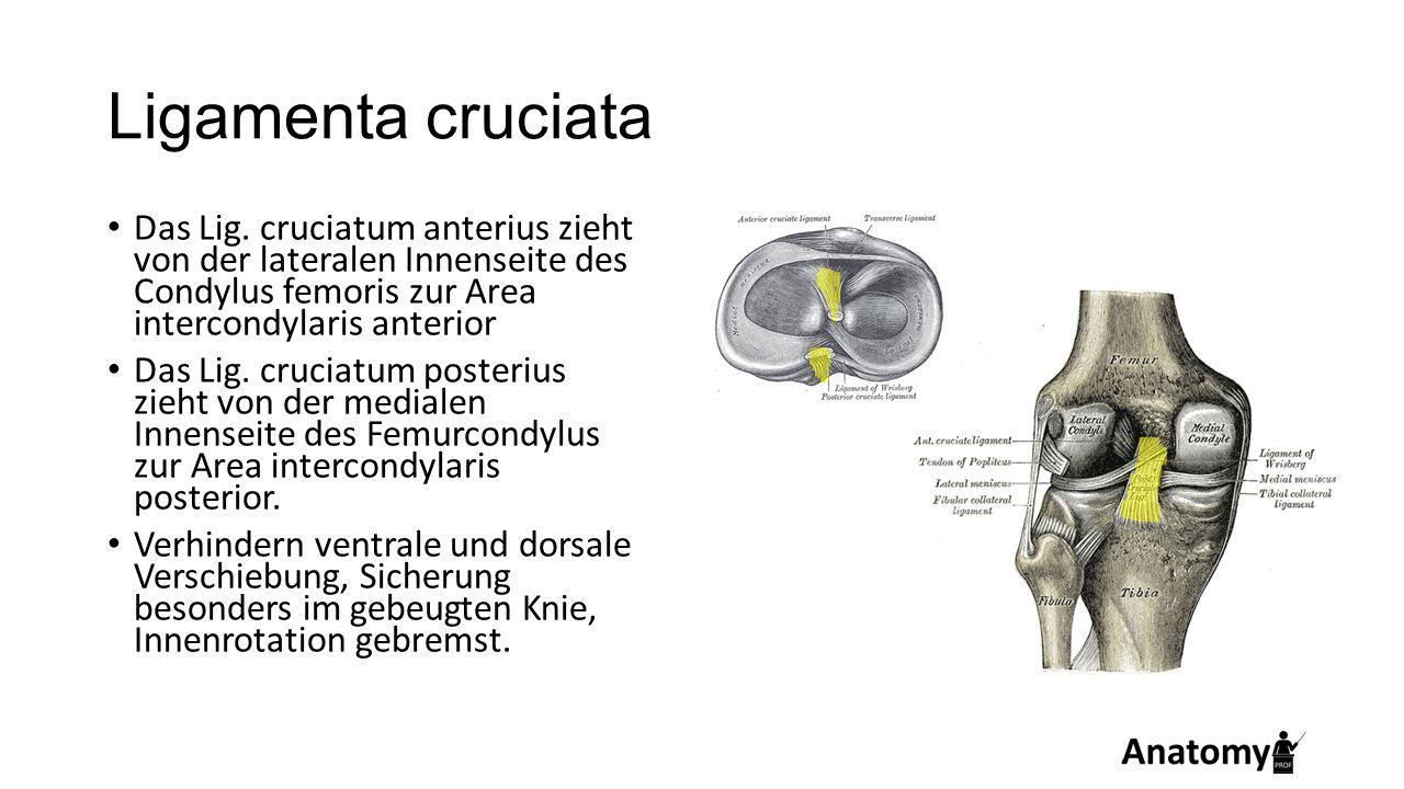 Ligamenta cruciata Das Lig. cruciatum anterius zieht von der lateralen Innenseite des Condylus femoris zur Area intercondylaris anterior Das Lig. cruc