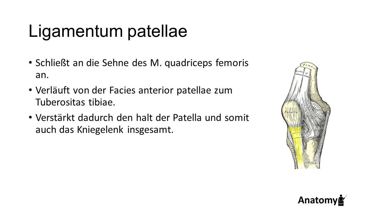 Ligamentum patellae Schließt an die Sehne des M. quadriceps femoris an. Verläuft von der Facies anterior patellae zum Tuberositas tibiae. Verstärkt da