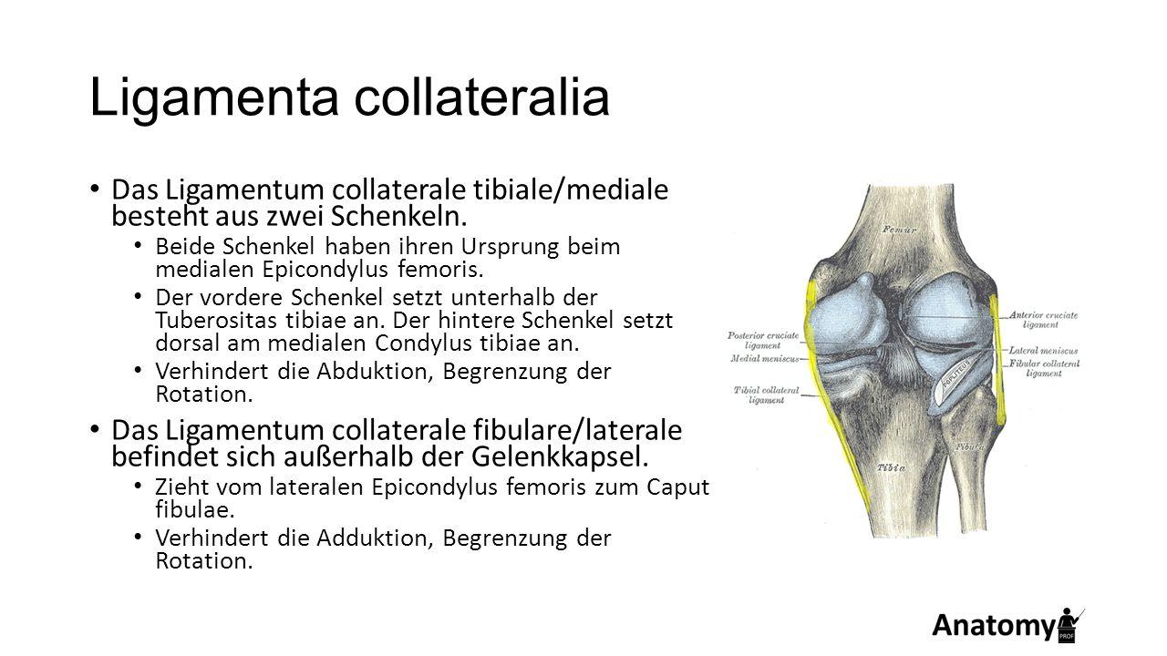 Ligamenta collateralia Das Ligamentum collaterale tibiale/mediale besteht aus zwei Schenkeln. Beide Schenkel haben ihren Ursprung beim medialen Epicon