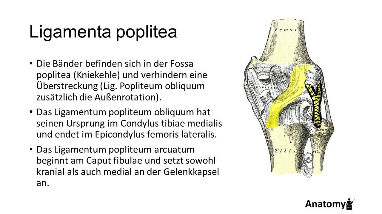 Ligamenta poplitea Die Bänder befinden sich in der Fossa poplitea (Kniekehle) und verhindern eine Überstreckung (Lig. Popliteum obliquum zusätzlich di