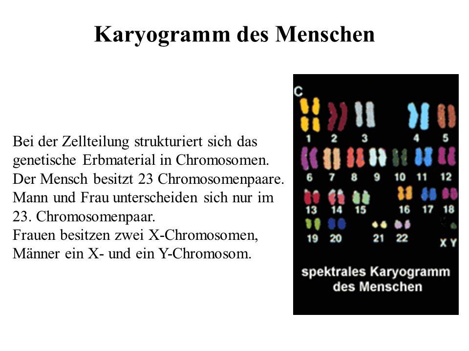 Chromosomen Die Träger der genetischen Information Die genetische Information liegt im Zellkern in Form eines diffusen Chromatingerüsts vor.