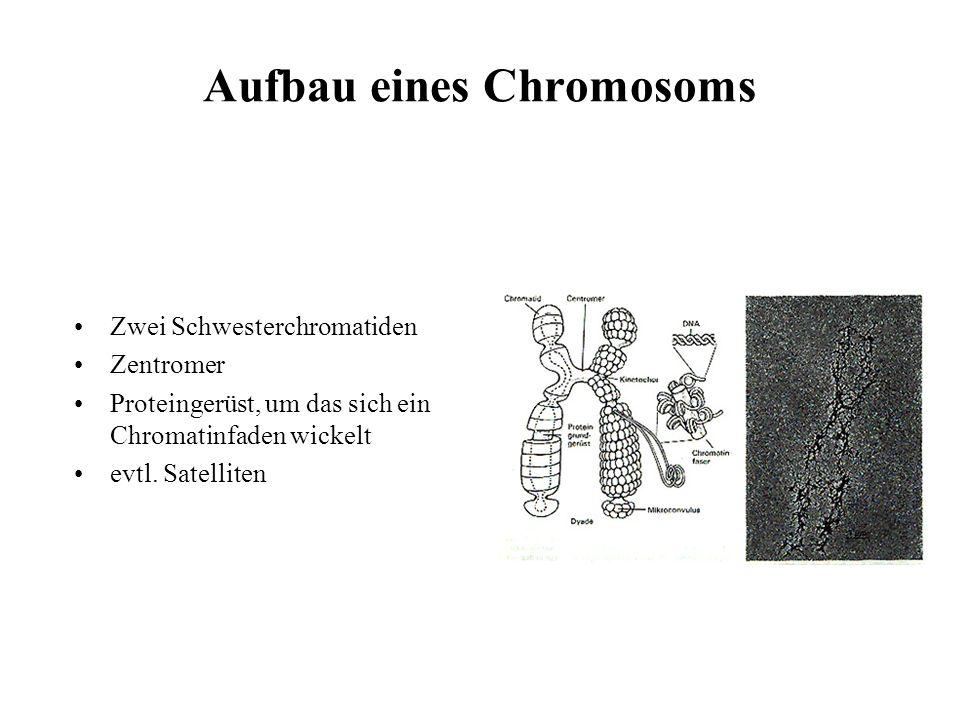 Karyogramm des Menschen Bei der Zellteilung strukturiert sich das genetische Erbmaterial in Chromosomen. Der Mensch besitzt 23 Chromosomenpaare. Mann