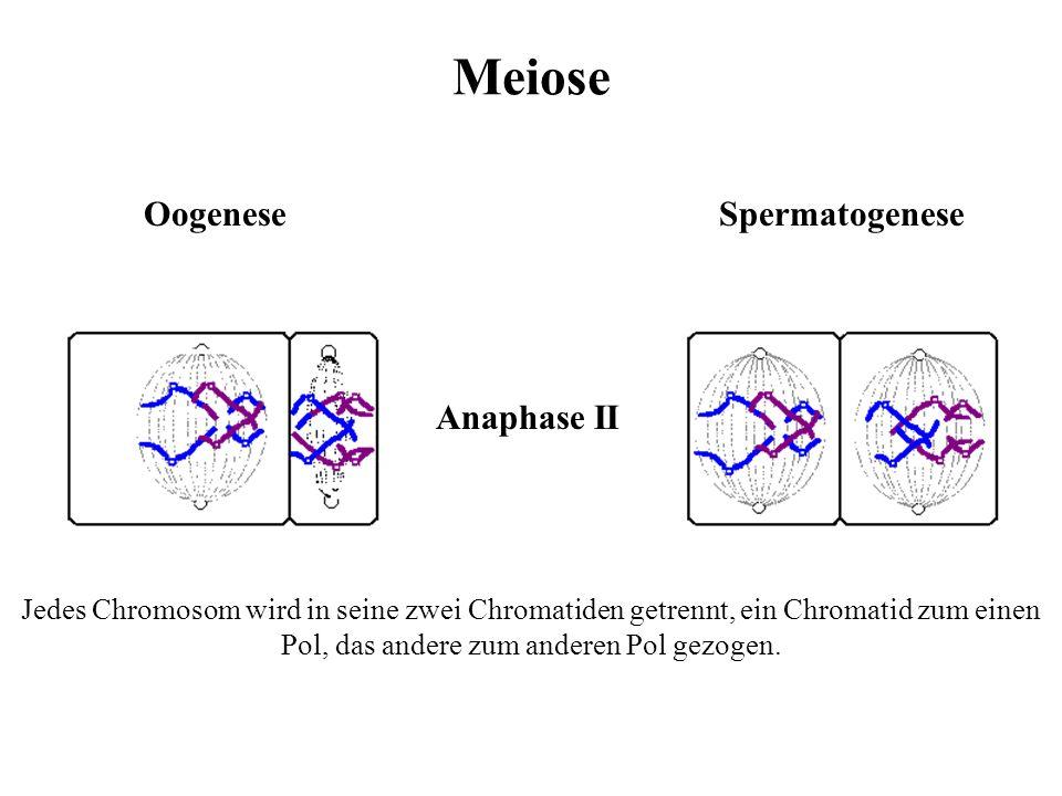 Meiose OogeneseSpermatogenese Die Chromosomen lagern einzeln in der Äquatorialebene an. Metaphase II