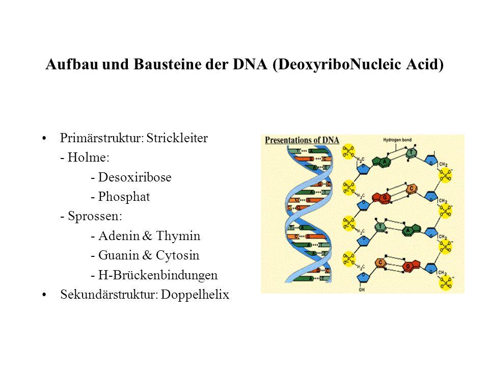 Mikrobiologie - Nukleinsäuren als Speicher der genetischen Information - Semikonservative Replikation der DNA - Proteine - Proteinbiosynthese - Genmut