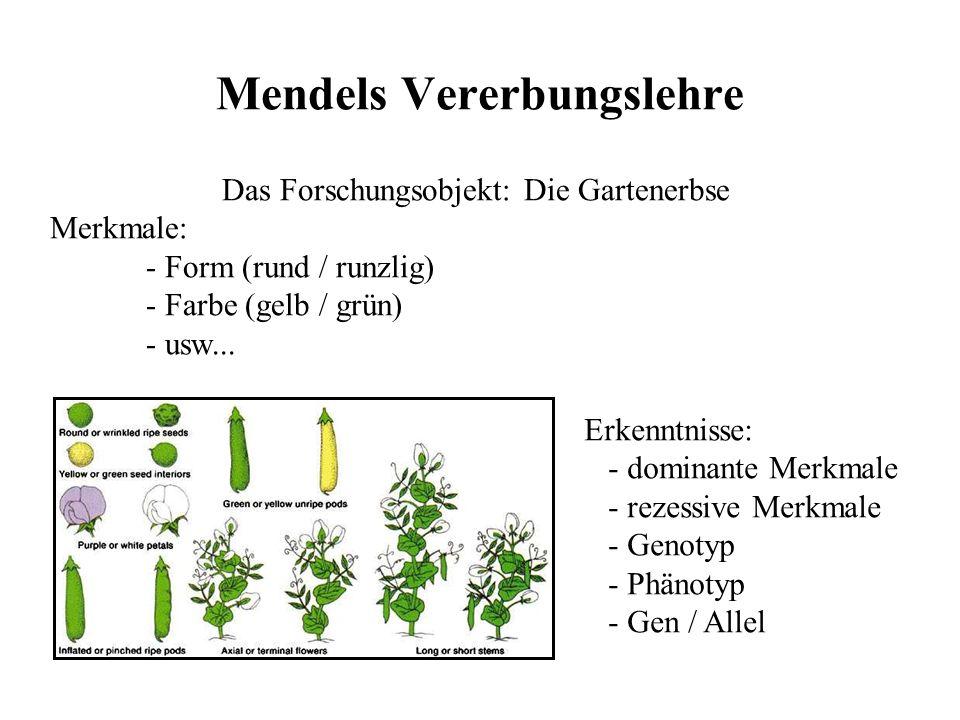 Vererbung Gregor Johann Mendel (1822 – 1884) - 1843 tritt er im Augustinkloster ein - 1844 beginnt er sein Theologiestudium - er erhält seine Priester