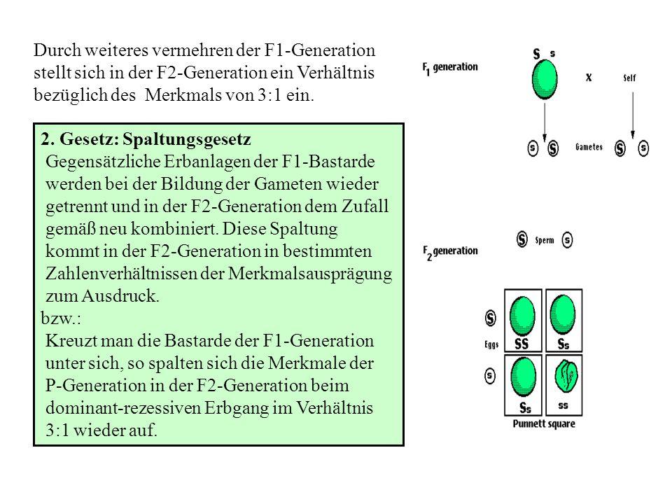 Mendelsche Gesetze Der monohybride Erbgang - Kreuzen zweier homozygoten Eltern mit gegensätzlich ausgebildetem Merkmal - Filialgeneration ist einheitl