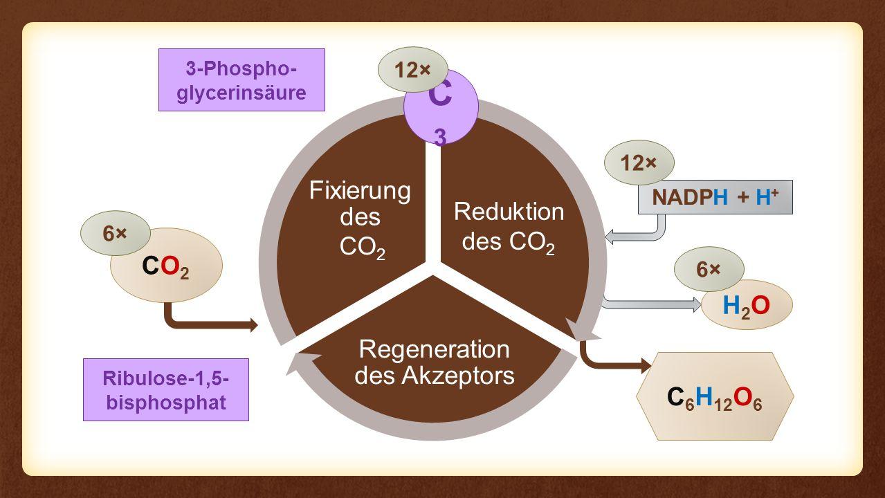 Regeneration des Akzeptors Fixierung des Eingangs Reduktion des CO 2 CO2CO2 C 6 H 12 O 6 6× NADPH + H + H2OH2O 6× 12× CO 2 3-Phospho- glycerinsäure C3