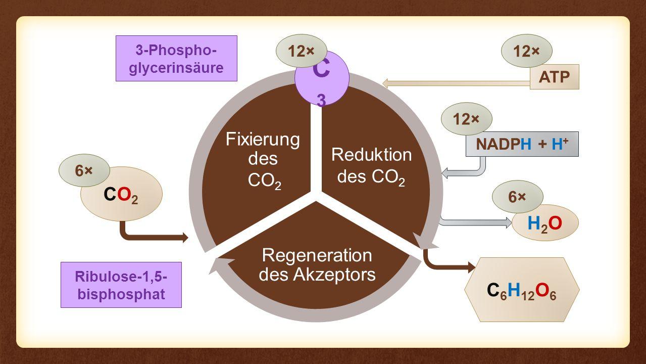 Reaktion Regeneration des Akzeptors Fixierung des Eingangs Reaktion CO2CO2 C 6 H 12 O 6 6× NADPH + H + H2OH2O 6× 12× CO 2 C3C3 12× 3-Phospho- glycerin