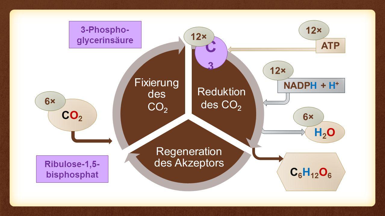 Reaktion Regeneration des Akzeptors Fixierung des Eingangs Reaktion CO2CO2 C 6 H 12 O 6 6× NADPH + H + H2OH2O 6× 12× CO 2 3-Phospho- glycerinsäure Red