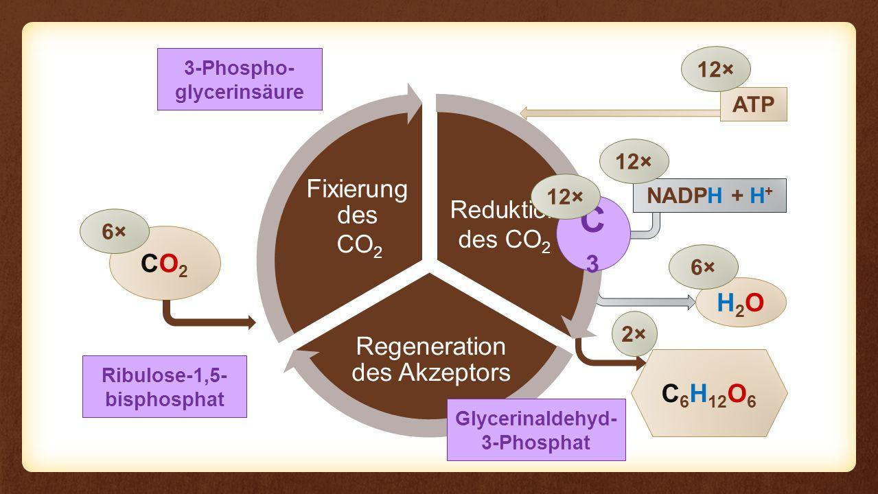 Reaktion Regeneration des Akzeptors Fixierung des Eingangs Reaktion CO2CO2 C 6 H 12 O 6 6× NADPH + H + H2OH2O 6× 12× CO 2 3-Phospho- glycerinsäure ATP