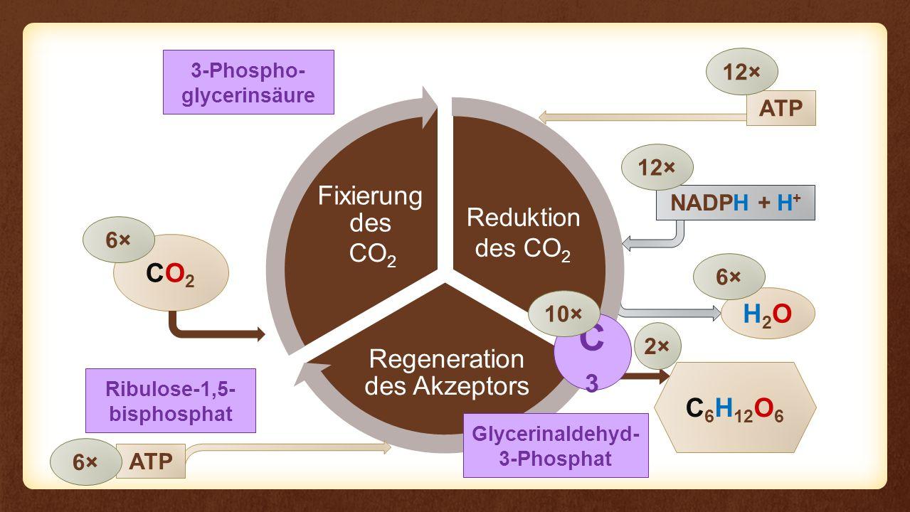 Reaktion Regeneration des Akzeptors Fixierung des Eingangs Reaktion CO2CO2 C 6 H 12 O 6 6× NADPH + H + H2OH2O 6× 12× Ribulose-1,5- bisphosphat CO 2 3-