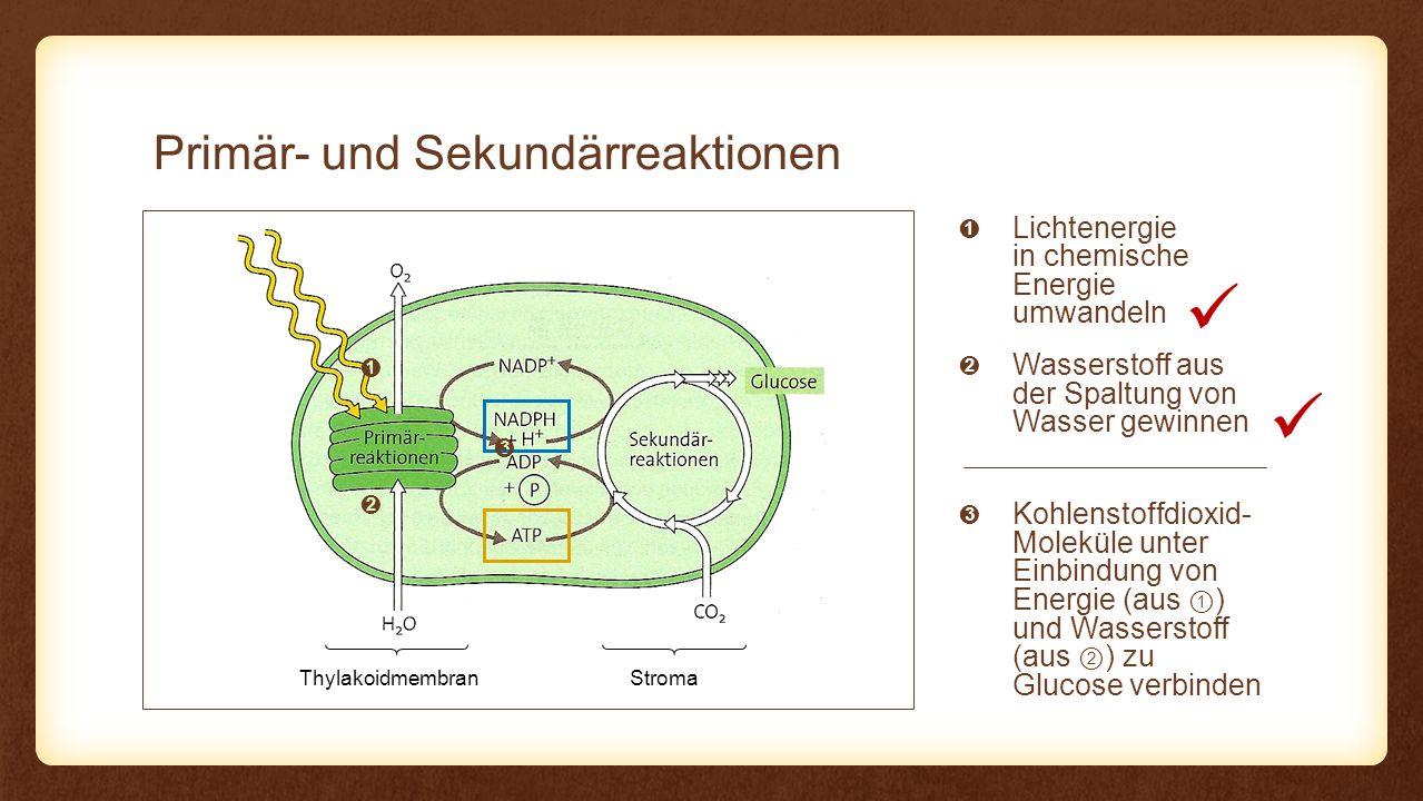 Reaktion Regeneration des Akzeptors Fixierung des Eingangs Reaktion CO2CO2 C 6 H 12 O 6 6× NADPH + H + H2OH2O 6× 12× CO 2 3-Phospho- glycerinsäure ATP 12× Reduktion des CO 2 C3C3 12× 2× Glycerinaldehyd- 3-Phosphat Ribulose-1,5- bisphosphat