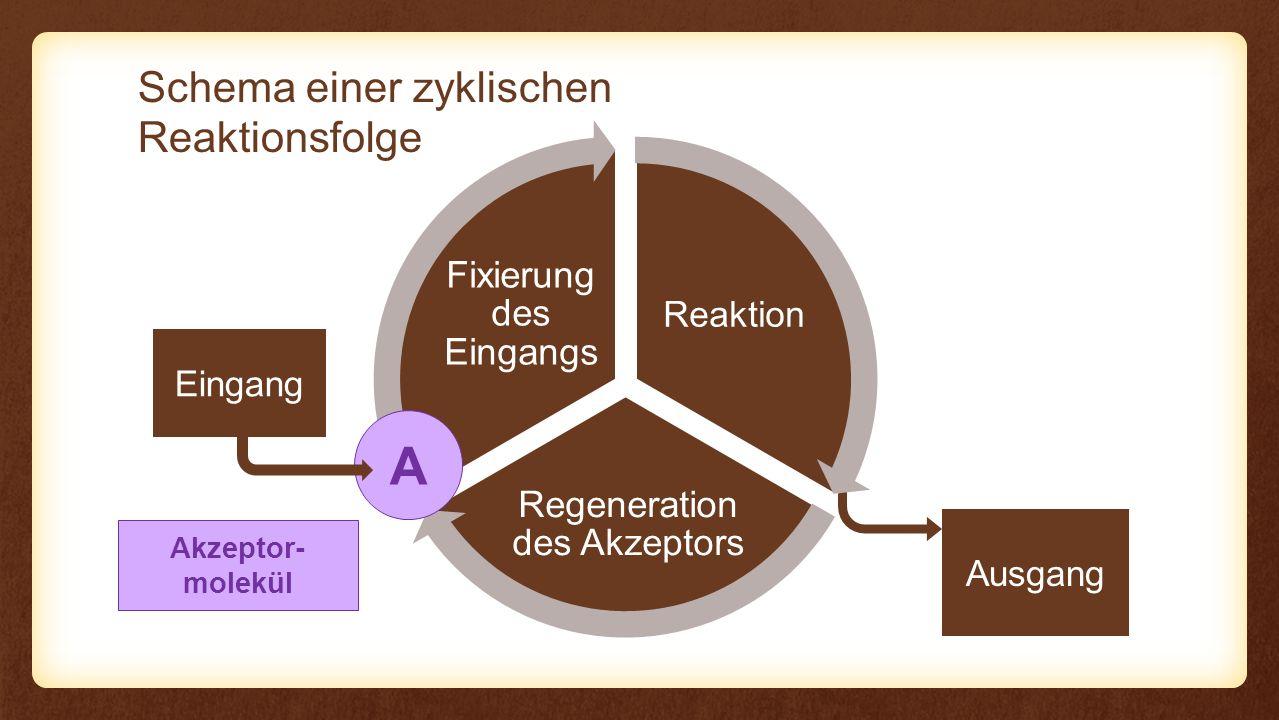 Reaktion Regeneration des Akzeptors Fixierung des Eingangs Reaktion CO2CO2 C 6 H 12 O 6 6× NADPH + H + H2OH2O 6× 12× Ribulose-1,5- bisphosphat CO 2 3-Phospho- glycerinsäure ATP 12× Reduktion des CO 2 C3C3 10× 2× Glycerinaldehyd- 3-Phosphat ATP 6×