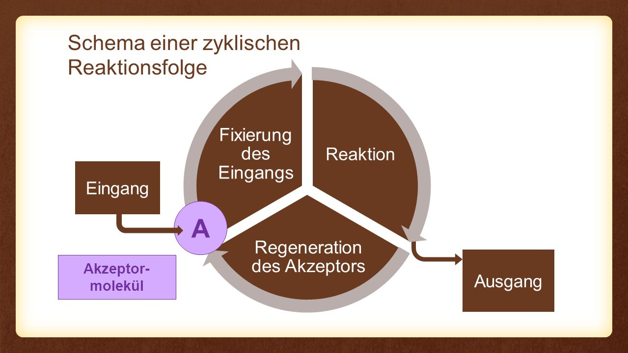 Ausgang Reaktion Regeneration des Akzeptors Fixierung des Eingangs Reaktion Calvin-Zyklus Eingang CO2CO2 Melvin Calvin (1911–1997) Nobelpreis 1961 C 6 H 12 O 6 A Akzeptor- molekül