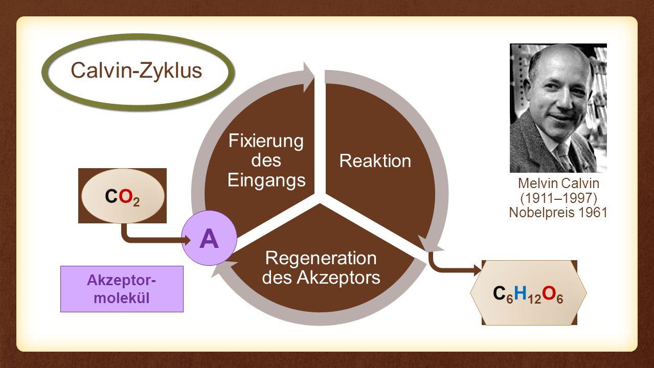 Reaktion Regeneration des Akzeptors Fixierung des Eingangs Reaktion Calvin-Zyklus CO2CO2 C 6 H 12 O 6 A 6× NADPH + H + 6× H2OH2O 6× 12× Akzeptor- molekül