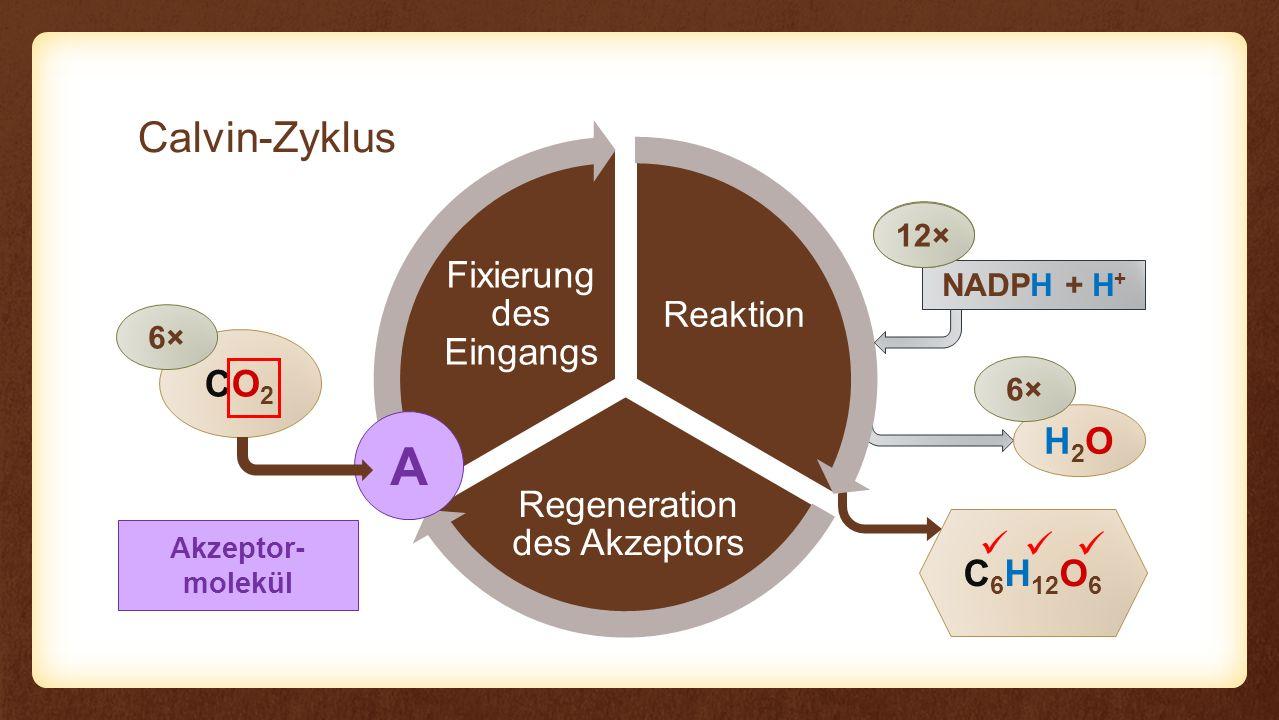 Reaktion Regeneration des Akzeptors Fixierung des Eingangs Reaktion CO2CO2 C 6 H 12 O 6 6× NADPH + H + H2OH2O 6× 12× Ribulose-1,5- bisphosphat CO 2 3-Phospho- glycerinsäure ATP 12× Reduktion des CO 2 2× Glycerinaldehyd- 3-Phosphat C5C5 6× C3C3 10× ATP 6×