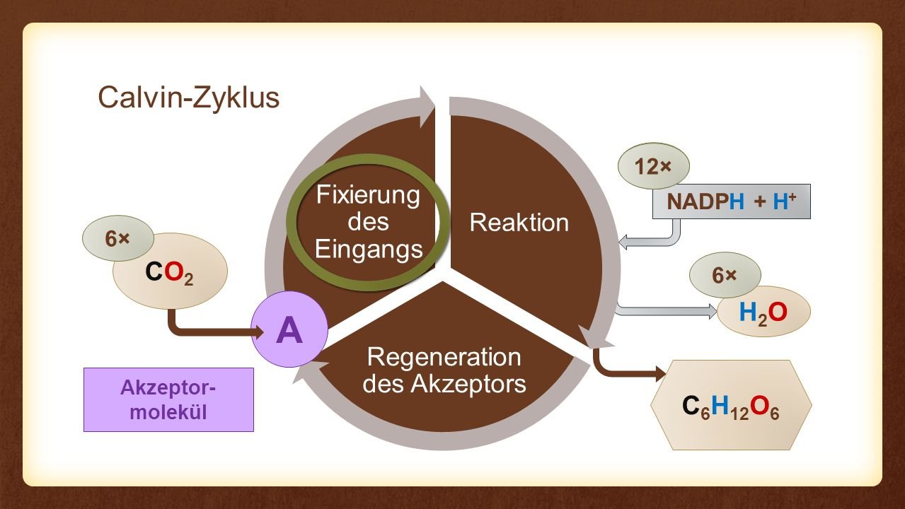 Akzeptor- molekül Reaktion Regeneration des Akzeptors Fixierung des Eingangs Reaktion CO2CO2 C 6 H 12 O 6 A 6× NADPH + H + H2OH2O 6× 12× Ribulose-1,5- bisphosphat C5C5 CO 2 C6C6 6× C3C3 12×