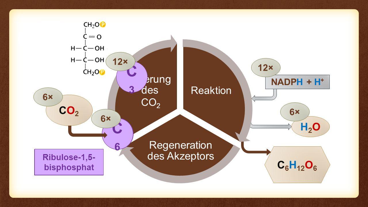 Reaktion Regeneration des Akzeptors Fixierung des Eingangs Reaktion CO2CO2 C 6 H 12 O 6 6× NADPH + H + H2OH2O 6× 12× CO 2 C3C3 12× 3-Phospho- glycerinsäure Ribulose-1,5- bisphosphat