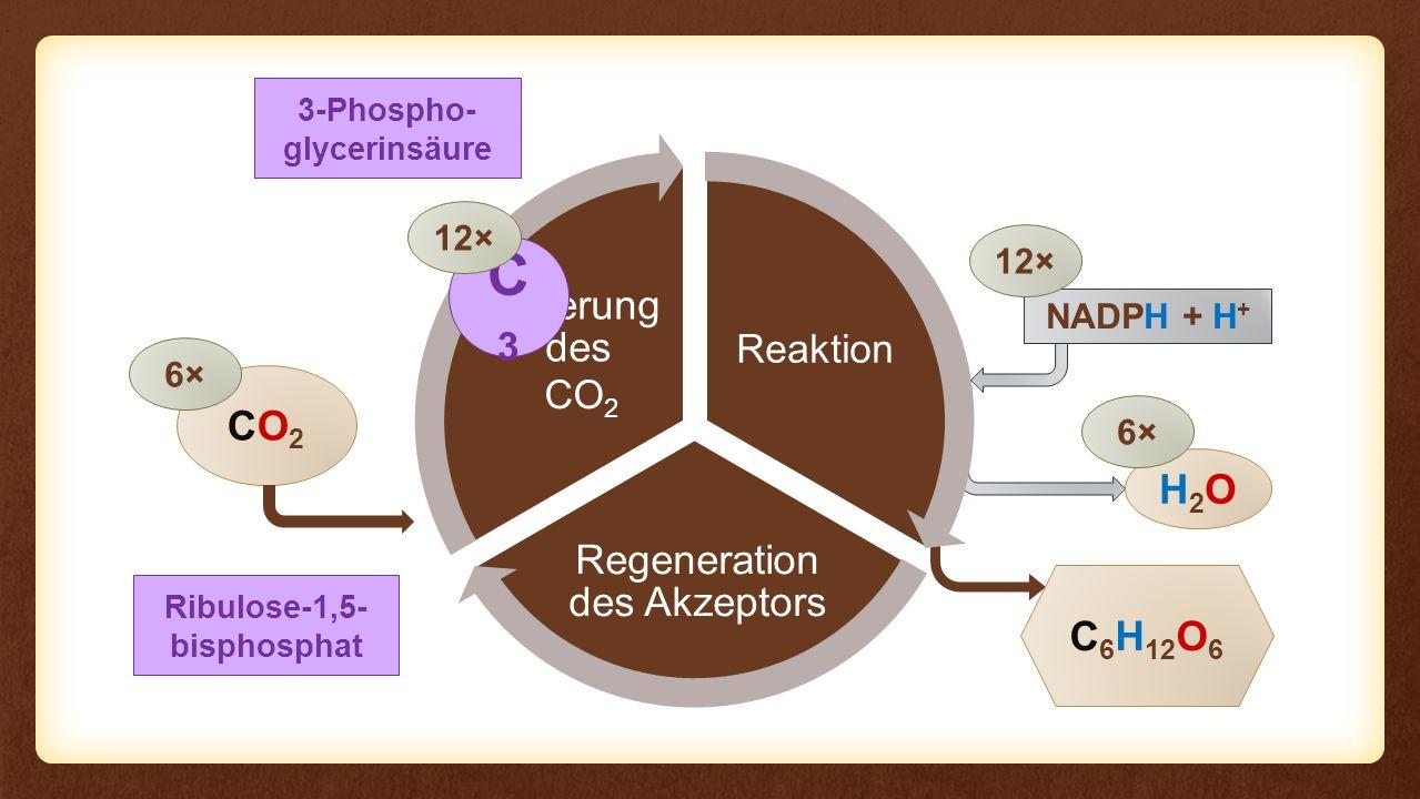 Reaktion Regeneration des Akzeptors Fixierung des Eingangs Reaktion CO2CO2 C 6 H 12 O 6 6× NADPH + H + H2OH2O 6× 12× CO 2 3-Phospho- glycerinsäure C3C3 12× Ribulose-1,5- bisphosphat