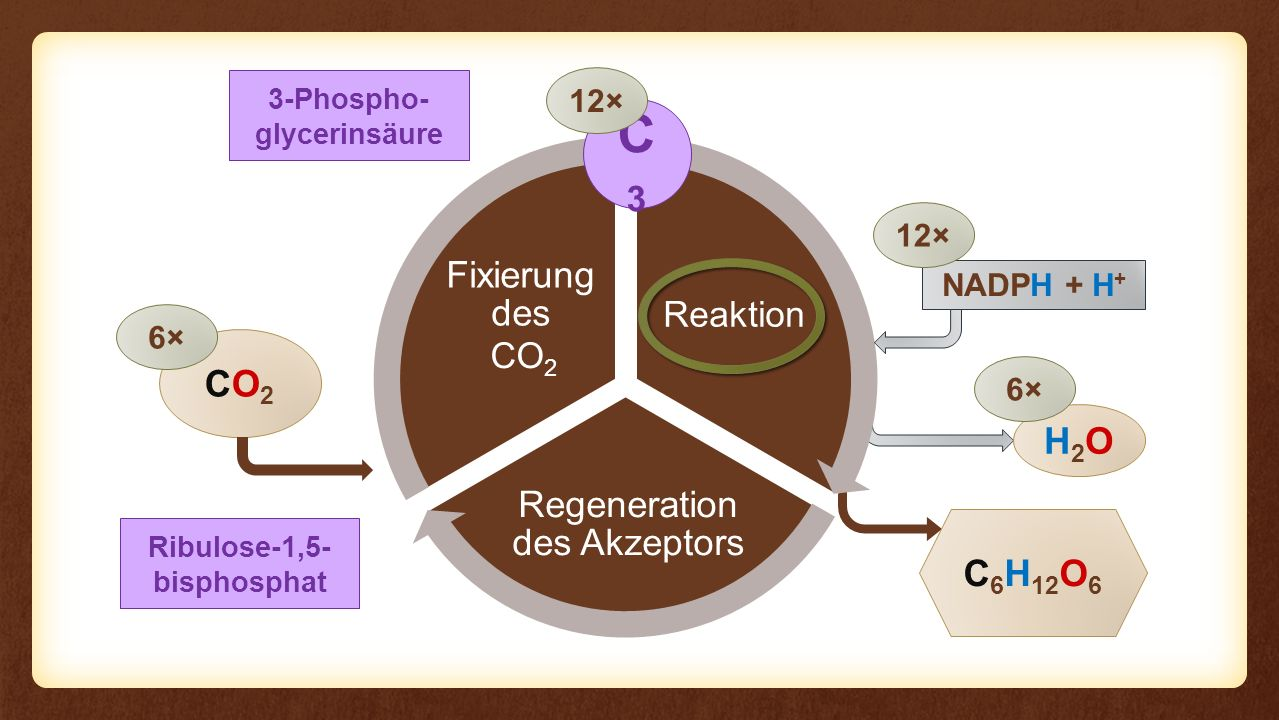 Reaktion Regeneration des Akzeptors Fixierung des Eingangs Reaktion CO2CO2 C 6 H 12 O 6 6× NADPH + H + H2OH2O 6× 12× CO 2 3-Phospho- glycerinsäure C3C