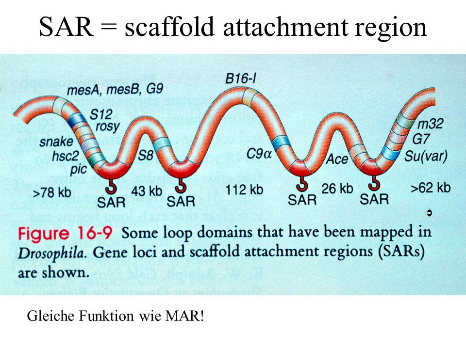 SAR = scaffold attachment region Gleiche Funktion wie MAR!