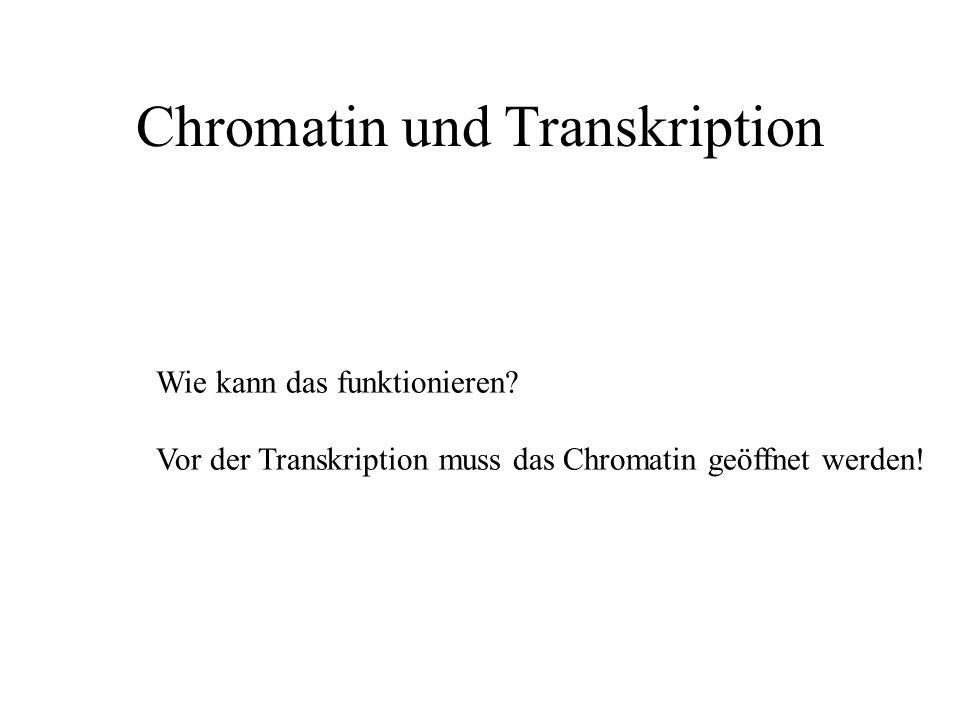 Chromatin und Transkription Wie kann das funktionieren? Vor der Transkription muss das Chromatin geöffnet werden!
