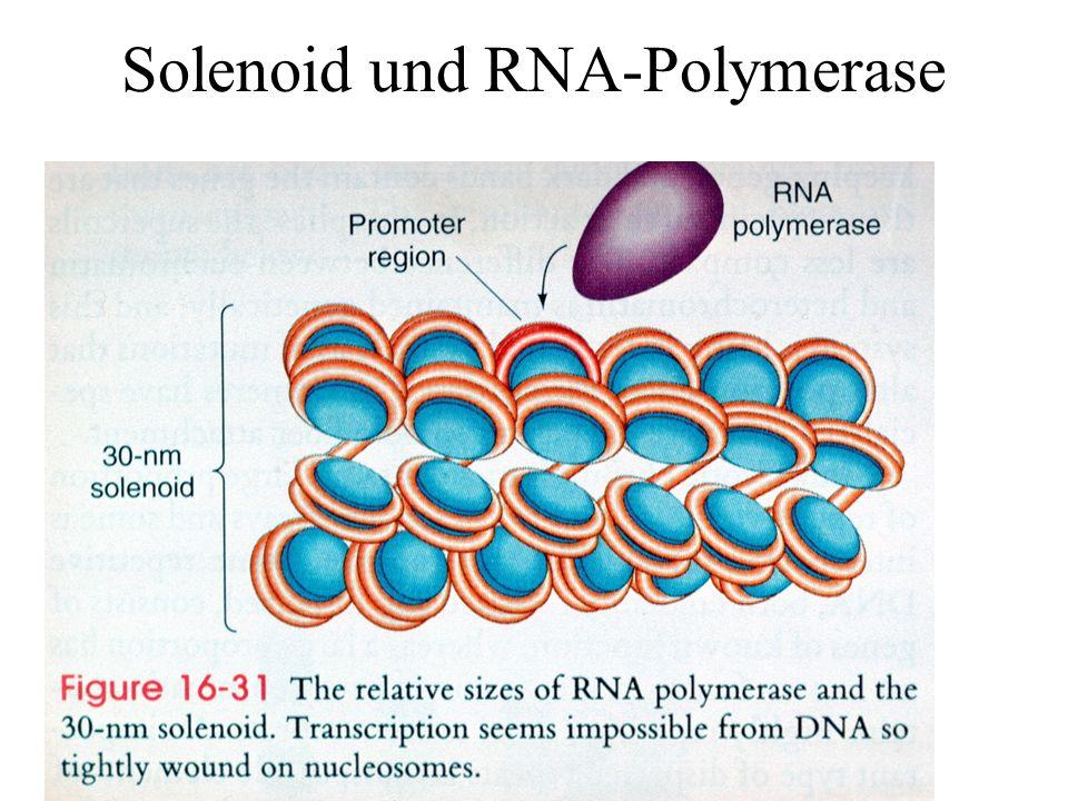 Solenoid und RNA-Polymerase
