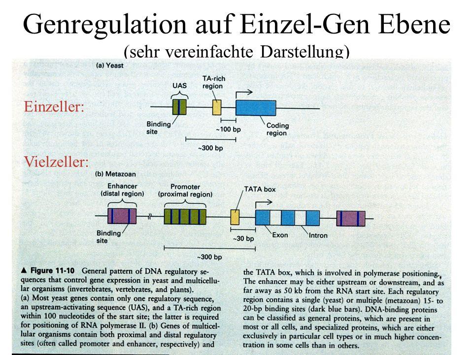 Genregulation auf Einzel-Gen Ebene (sehr vereinfachte Darstellung) Einzeller: Vielzeller: