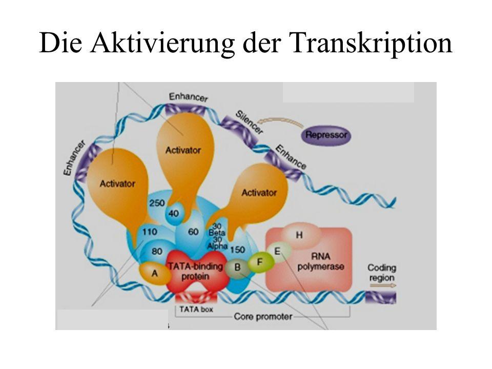 Die Aktivierung der Transkription