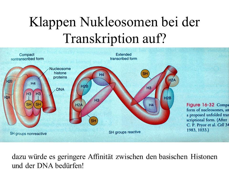 Klappen Nukleosomen bei der Transkription auf? dazu würde es geringere Affinität zwischen den basischen Histonen und der DNA bedürfen!
