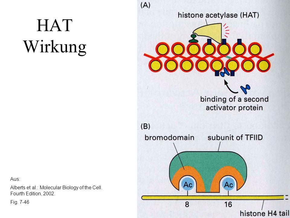 Aus: Alberts et al.: Molecular Biology of the Cell. Fourth Edition, 2002. Fig. 7-46 HAT Wirkung