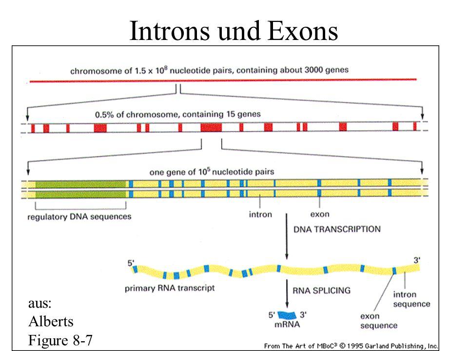 Introns und Exons aus: Alberts Figure 8-7