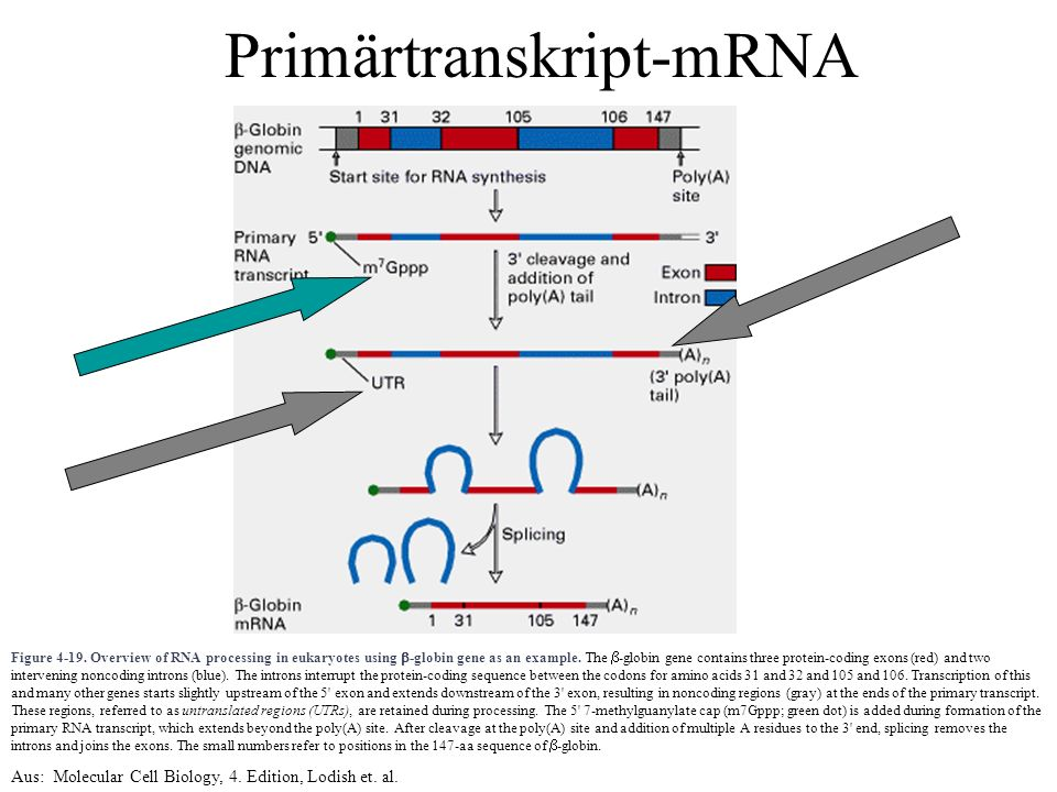 Figure 4-19. Overview of RNA processing in eukaryotes using  -globin gene as an example. The  -globin gene contains three protein-coding exons (red)