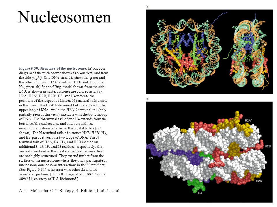 Figure 9-30. Structure of the nucleosome. (a) Ribbon diagram of the nucleosome shown face-on (left) and from the side (right). One DNA strand is shown