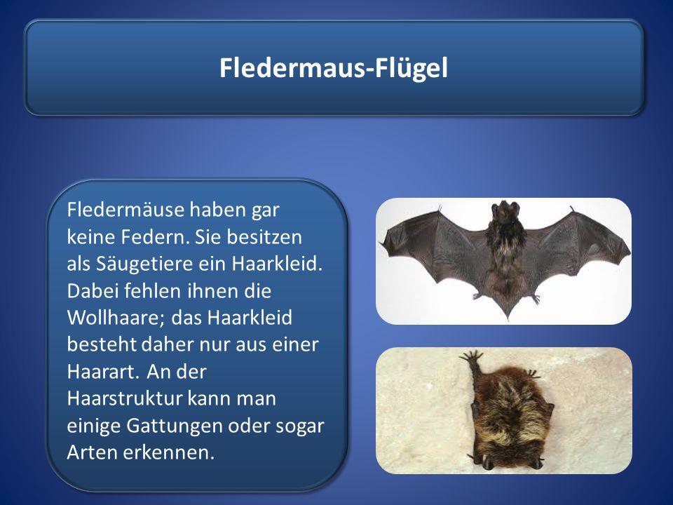 Fledermaus-Flügel Fledermäuse haben gar keine Federn. Sie besitzen als Säugetiere ein Haarkleid. Dabei fehlen ihnen die Wollhaare; das Haarkleid beste