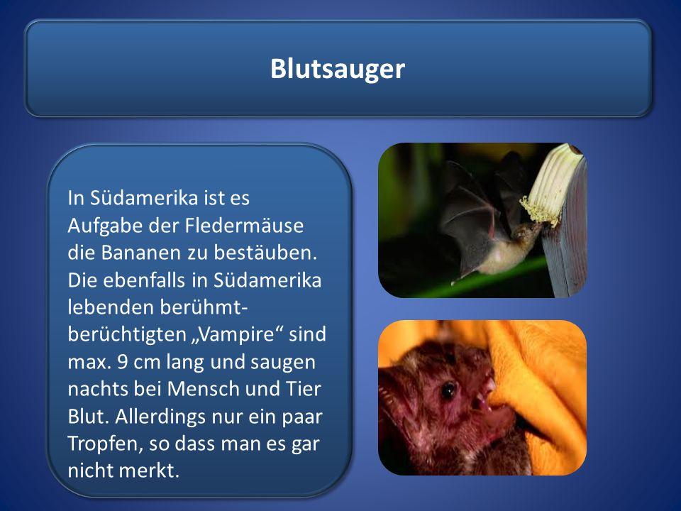"""Blutsauger In Südamerika ist es Aufgabe der Fledermäuse die Bananen zu bestäuben. Die ebenfalls in Südamerika lebenden berühmt- berüchtigten """"Vampire"""""""