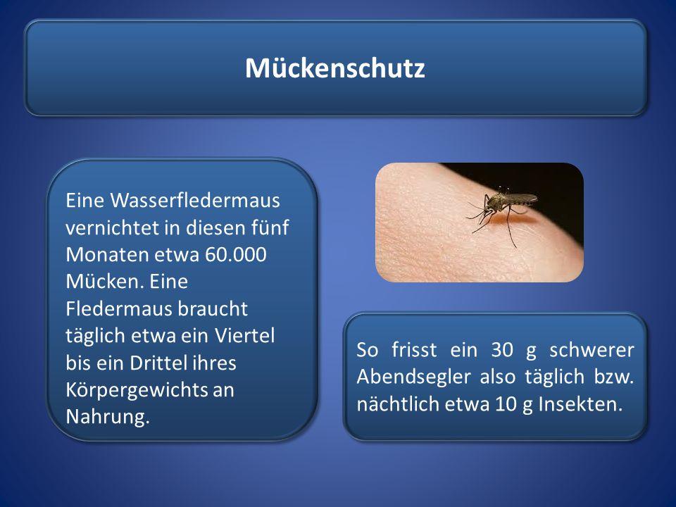 Mückenschutz Eine Wasserfledermaus vernichtet in diesen fünf Monaten etwa 60.000 Mücken. Eine Fledermaus braucht täglich etwa ein Viertel bis ein Drit