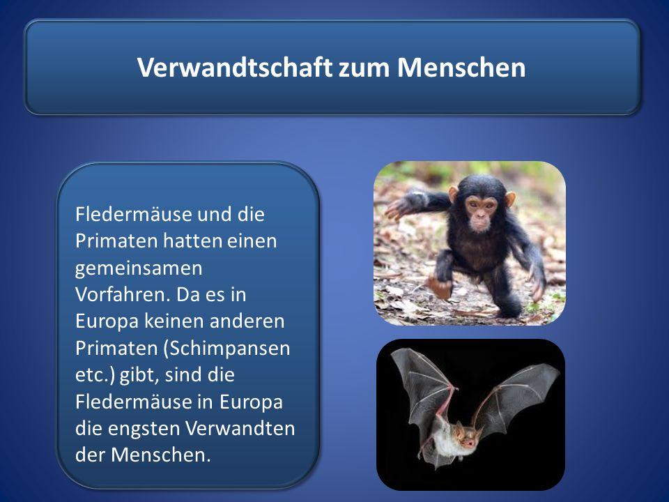 Verwandtschaft zum Menschen Fledermäuse und die Primaten hatten einen gemeinsamen Vorfahren. Da es in Europa keinen anderen Primaten (Schimpansen etc.