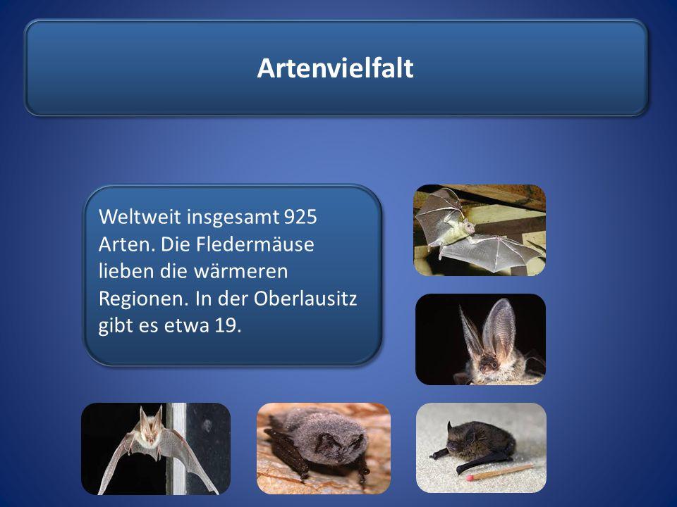 Artenvielfalt Weltweit insgesamt 925 Arten. Die Fledermäuse lieben die wärmeren Regionen. In der Oberlausitz gibt es etwa 19.