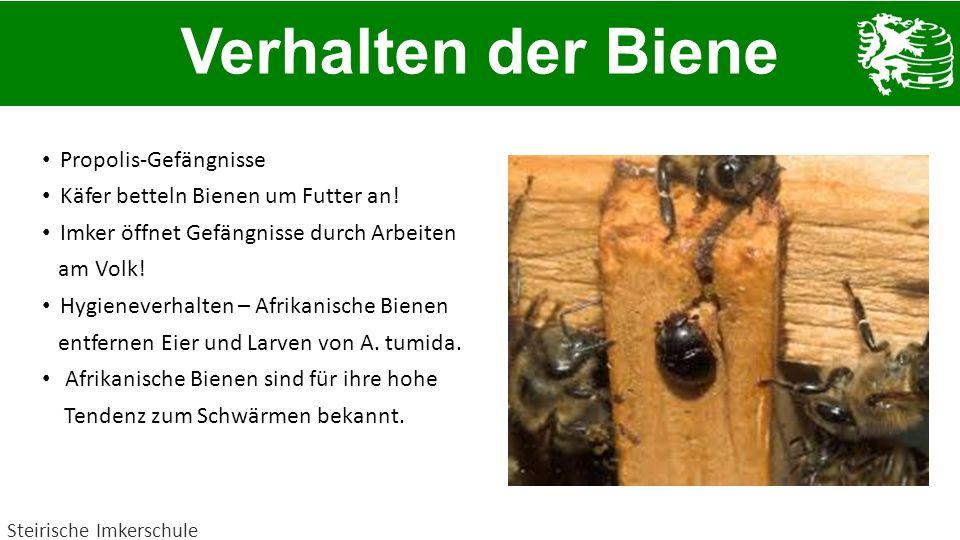 Propolis-Gefängnisse Käfer betteln Bienen um Futter an! Imker öffnet Gefängnisse durch Arbeiten am Volk! Hygieneverhalten – Afrikanische Bienen entfer