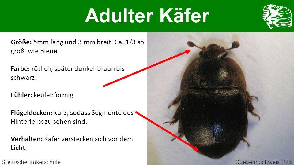 Adulter Käfer Steirische ImkerschuleQuellennachweis Bild Größe: 5mm lang und 3 mm breit. Ca. 1/3 so groß wie Biene Farbe: rötlich, später dunkel-braun